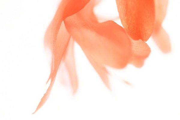 cactus flower by mikashiraiwa