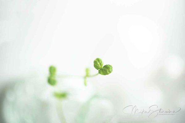 young leaves by mikashiraiwa